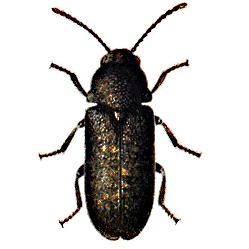 Deathwatch_beetle